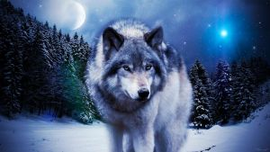Wolf-pictures5 by hawaiiananimallover