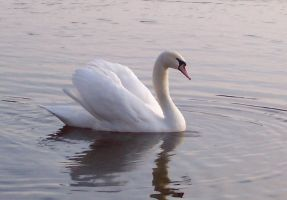 swan by Tacos45