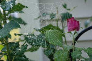 web rose by kipper1272