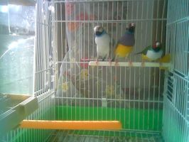 My Gouldians finches. by Anna-XIII