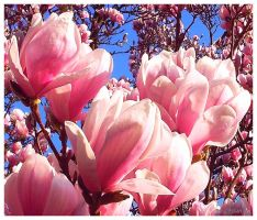 Spring is comming - Magnolia Tree by Villa-Chinchilla