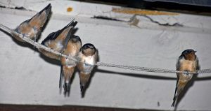 Night Swallows by sequential