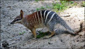 Numbat by Mkatpro11