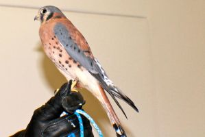 American Kestrel #2 by Darklordd