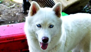 White Dog Blue Eyes by tastybedsore
