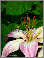 Wet lily morning by Mogrianne