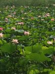 Lily Pads by ThisPersonSays
