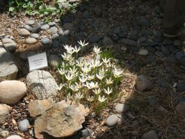 Zephyranthes candida by Turboplant