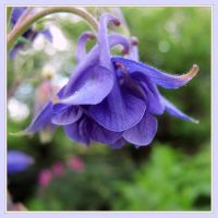 Aquilegia dream by miss-gardener