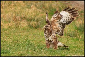 Gigrin Farm - Buzzard II by nitsch