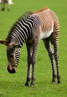 Baby zebra stk 2. by LubelleCreativeSpark