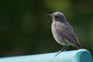 The Young Redstart by Vejr