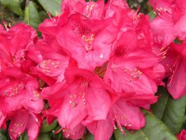 Rhododendron reverie 8 by JanuaryGuest