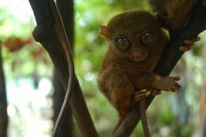 A Tarsier by chiziwhiteafrican