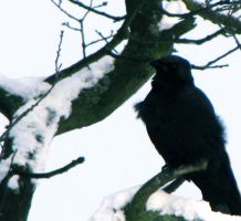 Crow In Snow by AngelitoCaz