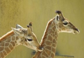 Baby giraffes by Bushrch