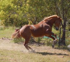 Horse stock - Rearing by Chunga-Stock