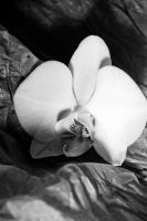 Orchid Black and White by ravenmoonstone