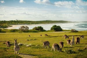 Australia - Kangaroos and Beach by C-h-r-i-s-P
