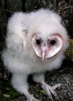 Barn Owl: 28 Days Old by Ciameth