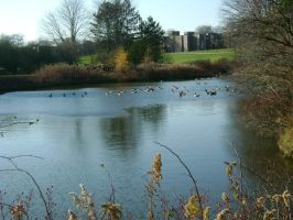 Geese on the pond by lightstars