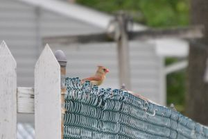 Female Cardinal 3 by Noble-Kenshi