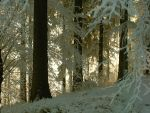 forest after snow storm by Carchariodon