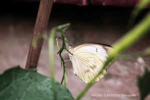 White Butterfly by Almirith7