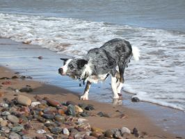 Loki at the beach-Blue Merle Border Collie by jipjax