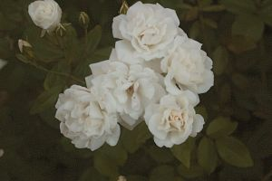 White Roses by julismith