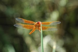 Dragonfly by Rayroze