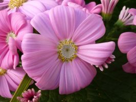 Pink Flowers Unres stock 04 by shelldevil