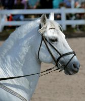 Lipizzaner Stallions 8 by Lauren-Lee