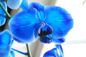 Blue orchid by TruckerBettan