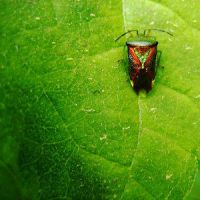shield bug by Insect-Lovers-Club