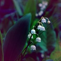Lily of the valley by axling
