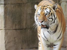 Bengal Male 2 by jaymielynn