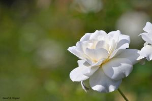 Pure Beauty by David-A-Wagner