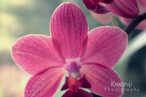 Orchid by Kreaniji-PHOTOGRAPHY