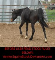 Sunchaser14 by AstriexEquineStock