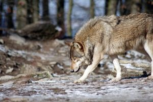 Wolf12 by Prinzess-Stock