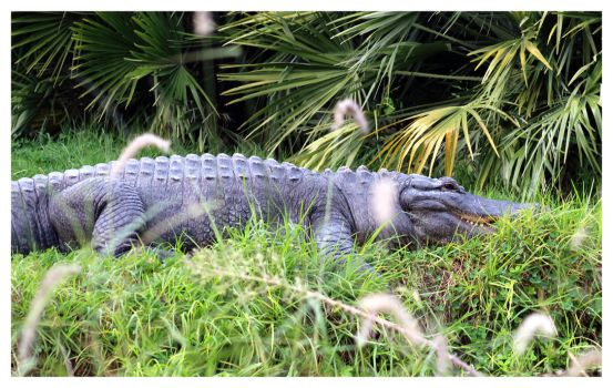 American Alligator by bensinn
