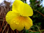 Yellow Flower by Aroha-Photography