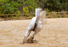 Arab gallop from behnd tail up by Chunga-Stock