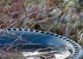 Dunnock - to wash or not to wash by Steve-FraserUK
