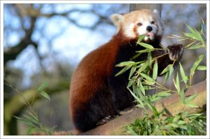 Red Panda II by hmdll