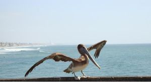 Pelican Taking Flight by silverz777