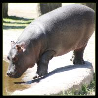 Little Hippo 1 by Globaludodesign
