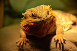 Bearded Dragon II by esee