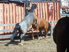 Blue Roan Quarter Horse - 01 by horsiexstock